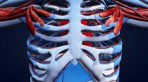 موشن گرافیک علمی چرخش دور آناتومی قفسه سینه انسان