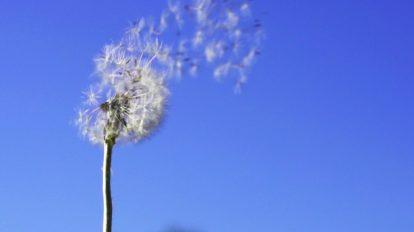 فوتیج پرواز دانههای قاصدک در زمینه آسمان آبی