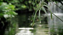 فوتیج ویدیویی از برگهای آویزان روی رودخانه