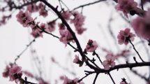 فوتیج دالی دوربین در میان شکوفه های صورتی گیلاس