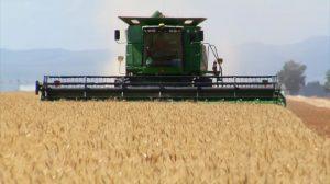 فوتیج ویدیویی از ماشین درو در حال برداشت گندم از مزرعه