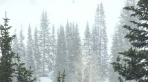 فوتیج ویدیویی از درخت های کاج در بارش سنگین برف