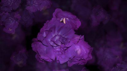 فوتیج ویدیویی تایم لپس رزهای آبی
