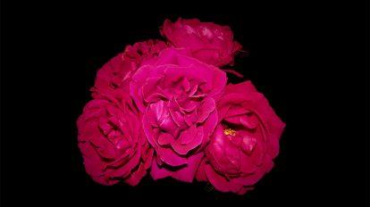 فوتیج ویدیویی تایم لپس رزهای قرمز