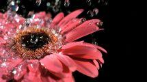فوتیج اسلوموشن افتادن قطره های آب روی گل داودی
