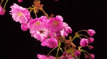 فوتیج ویدیویی تایم لپس از شکفتن گلهای صورتی درخت ساکورا