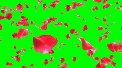 ویدیوی کروماکی موشن گرافیک افتادن گلبرگ های رز