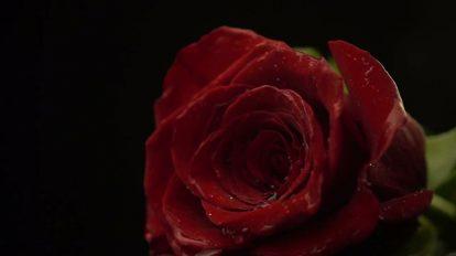 فوتیج اسلوموشن افتادن گل رز قرمز روی زمین خیس