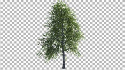 ویدیوی موشن گرافیک درخت توس Birch Tree