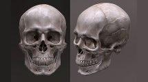 مدل سه بعدی جمجمه انسان Human Skull