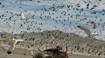 مجموعه مدل سه بعدی پرندگان The Flock Gulls and Crows