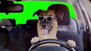 فوتیج کروماکی سگ با عینک افتابی در حال رانندگی
