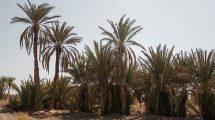 مجموعه تصاویر نخلستان بیابانی Desert Palm Grove