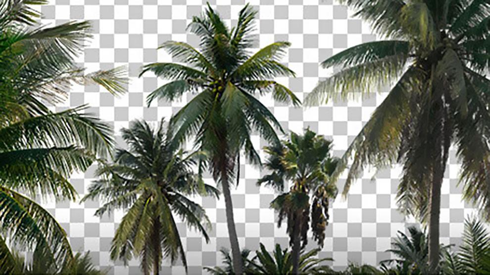 مجموعه تصاویر درختان نخل Palm Trees