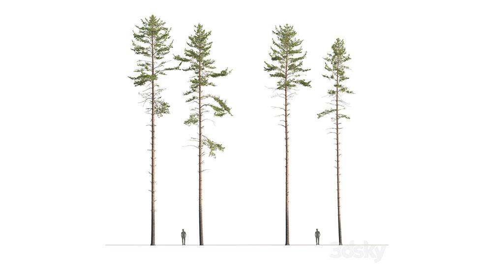 مجموعه مدل سه بعدی درخت کاج Common Pine