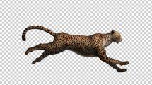 فوتیج دویدن چیتا Cheetah Run
