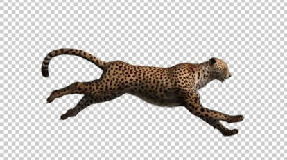 فوتیج دویدن چیتا Cheetah Run