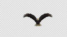 فوتیج پرواز کردن عقاب Eagle Fly