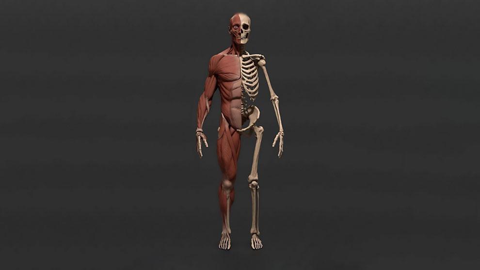 مدل سه بعدی آناتومی اسکلت و ماهیچه بدن مرد Male Body Skeleton and Viscera