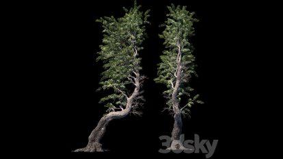 مدل سه بعدی درخت کاج Pine Aleppo