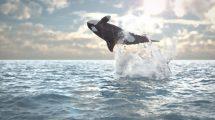 پروژه افترافکت نمایش لوگو با پرش وال Jumping Whale Logo Reveal