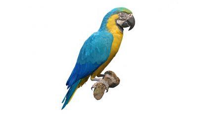 مدل سه بعدی طوطی آبی و طلایی Blue and Gold Macaw Parrot