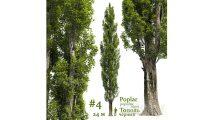 مدل سه بعدی درخت صنوبر Poplar Poplus 4