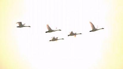 فوتیج ویدیویی اسلوموشن پرواز قوها در طلوع خورشید صبح